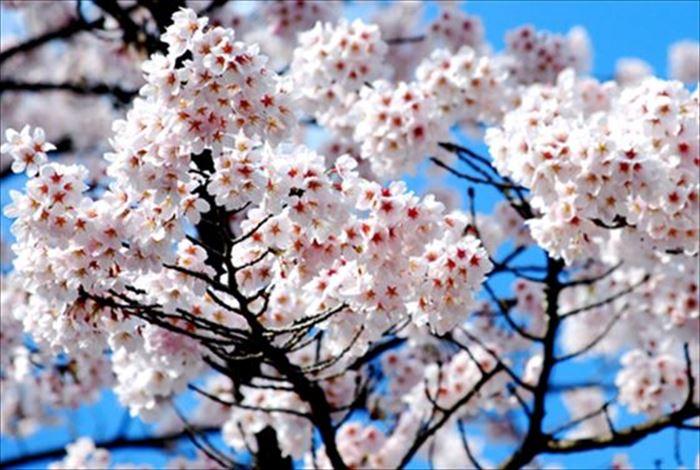 桜の種類の見分け方