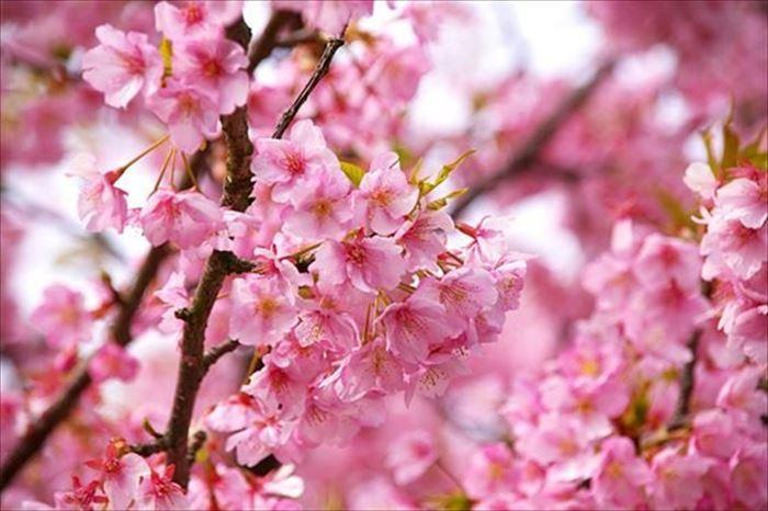 東京の河津桜の名所とアクセス方法