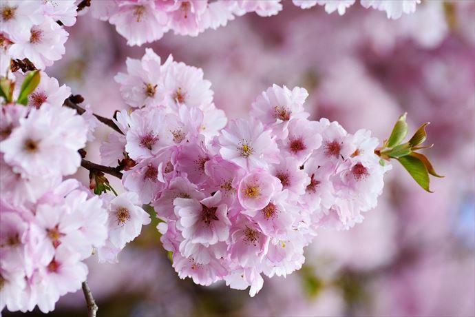 上野公園の花見2021年も中止?桜を見る時の注意事項